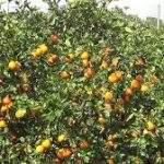 How to Start Orange and Lemon farming in Nigeria